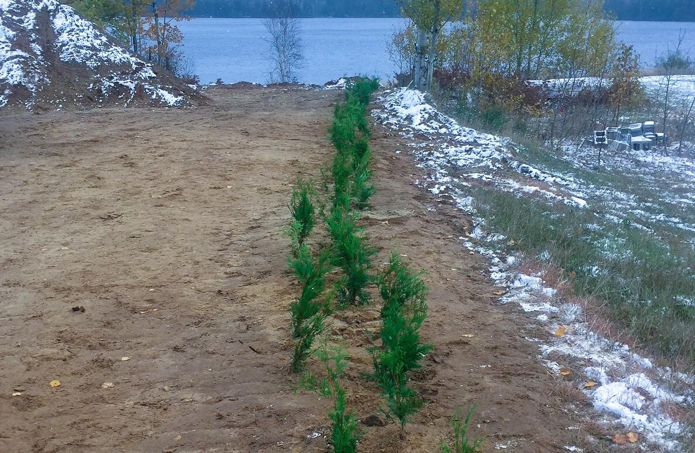 Cedar hedge along the shore of Beaver Lake
