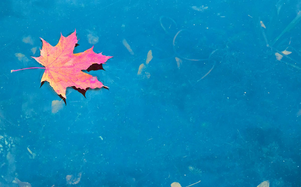 Dry red maple leaf on the blue lake water